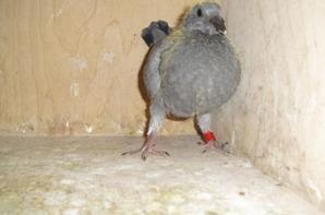 pigeonneau 327923/17 présenté lors de la vente d'Auberchicourt le 04/02/17
