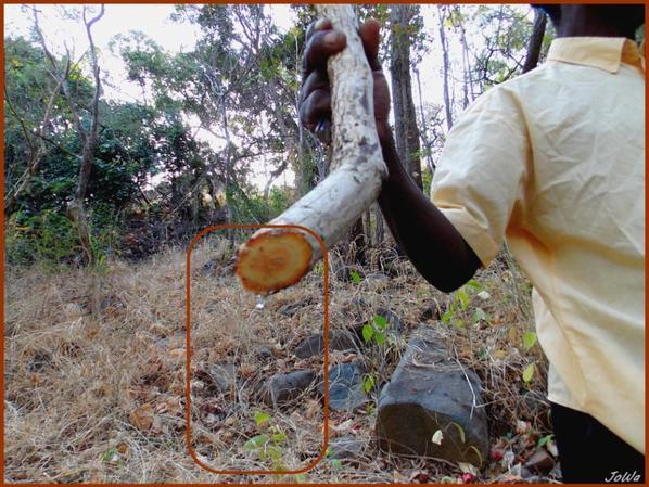 Liane donnant de l'eau potable
