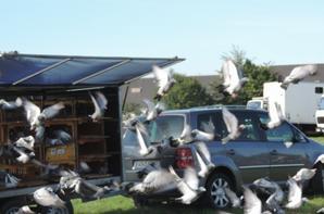 Lachers de pigeons de plusieurs société a ST JAMES (50)