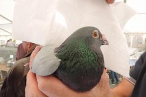 Présentation de quelques pigeons au public