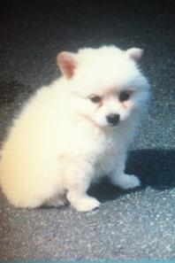 ~ Voici mon bébé Spitz ; Milane ♥