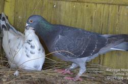 Mes pigeon voyageur 2013