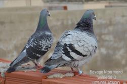 Mes pigeon voyageur 2013-2