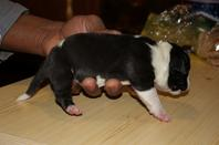 breeding black pearl et sumo
