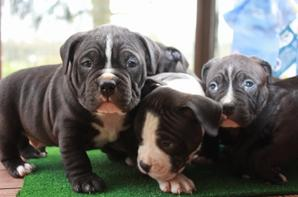 chiots du breeding de black pearl