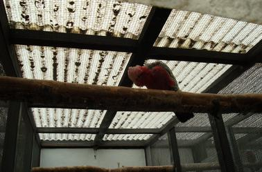 cacatoès rosalbin - grandes alexandre - perruches derbyan
