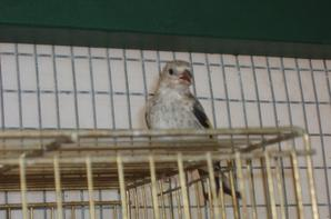carduelis chicks 2012..
