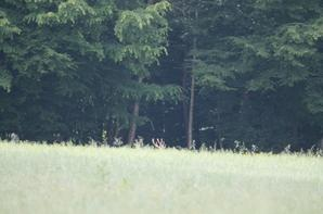 cerf en velour au mois de juillet