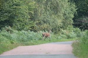 biche chasse a courre 08-10-2013