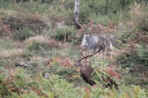 cerf non de chasse du 08-10-2013