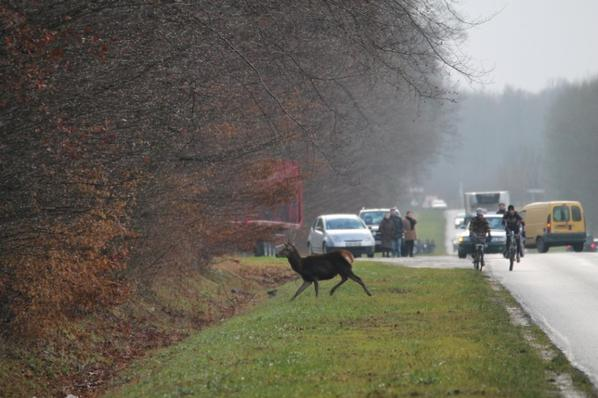 chasse a courre 28-12-2013