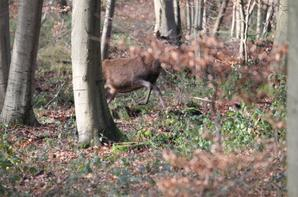 chasse a courre 04-01-2014