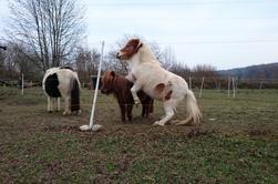 Mes ponettes Shetlandes