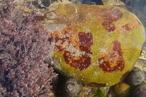 """Des fossiles en formation ? Une forme de cristallisation ? Des algues sur les cailloux ? Toujours un tas de questions sans réponse lors de mes promenades qui n'enlève rien à l'admiration que je porte à toutes ces jolies découvertes """"-"""" ."""