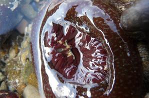 """La plus petite que j'ai eu la chance d'observer aujourd'hui """"-"""" la seule avec des tentacules vertes aux bouts violets """"Anemonia viridis"""" Anémone verte, magnifique et celles qui ont le pied tacheté """"Actinia fragacea"""" Anémone fraise . Elles sont toutes plus belles les unes que les autres """"-"""" ."""