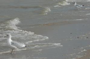 Goéland cendré aux côtés d'un goéland argenté.