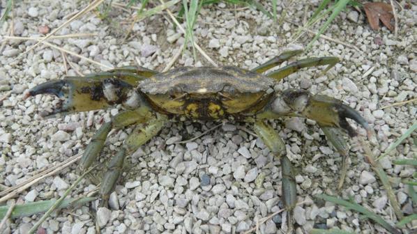 Crabe vert... Et pour la petite anecdote...