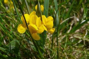 Lamier galéobdolon ou ortie jaune - Hippocrépis à toupet ou fer-à-cheval - Tetragonolobe siliqueux