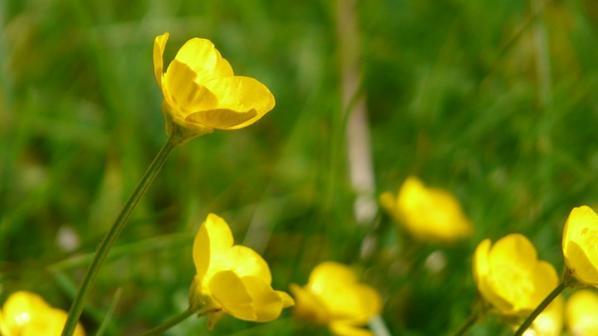 Bouton d'or - Grande consoude - Iris faux-acore