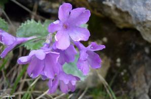 Primula marginata (primevère marginée)