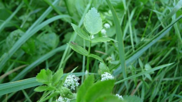 apium nodiflorum (ache nodiflore)