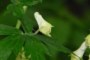 Aconitum lycoctonum (aconit tue-loup)