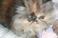 Les chatons sont disponibles, Lolita écaille, La-bella écaille smoke, L'afrika black et L'awa black smoke, ils sont habitués au bains et chien.Vermifuger régulièrement, pucé vaccinés plus rappel ok. Pour plus d'info vous pouvez me contacté au 02-99-39-01-05
