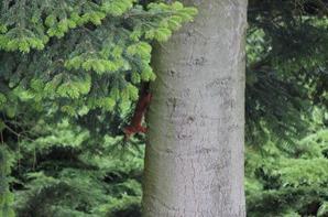 Ecureuils dans le jardin