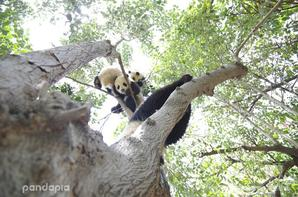 Hanging in the trees are ripe pandas. It is a season of harvest.
