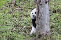 A lonely baby panda