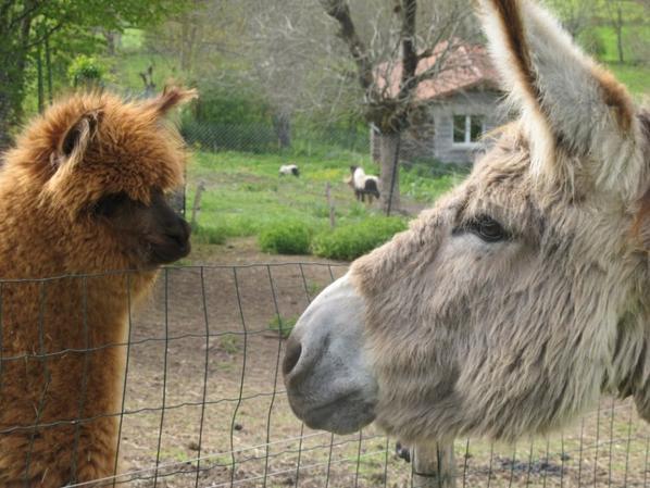 randonnée avec mon ânes  et peu être Lama