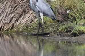 HERON CENDREE
