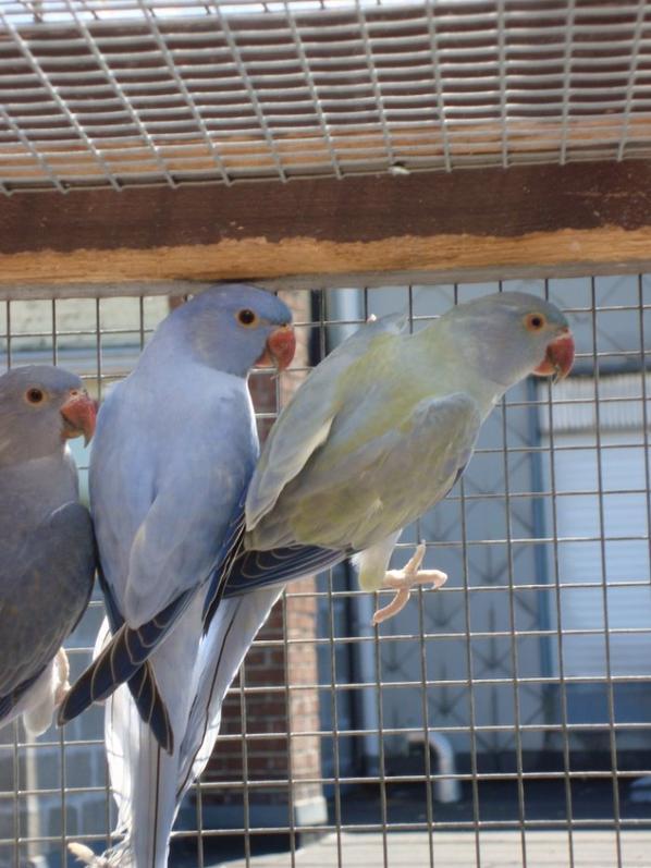 opaline violet (mâle) et opaline violet turquoise (femelle)
