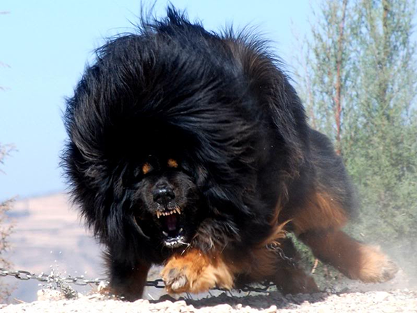une bien  belle peluche versus calme et énerver lol dogue du tibet petit chien interdit en France