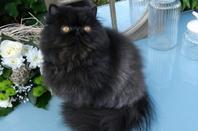 Chocolate Dream's O'Malley (Ode à l'Amour) petit persan noir, calîn en attente de sa famille , Disponible!