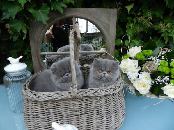 Chocolate Dream's les petites poupées bleues porteurs du gènes lilas , O Bleue de Chanel est Disponible !