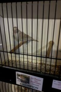 une  partie de  nos  oiseaux  exposés  à  Peruwelz