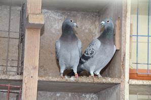Mes pigeons