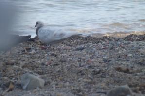 les pigeons sur la plage