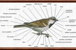 morphologie des oiseaux
