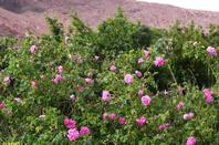 Rose Sud Du Maroc