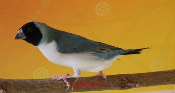 Femelle bleue