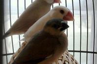 les bébés paddas visitent la cage