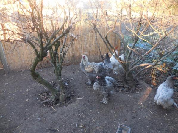 Un coucou avec les poules.