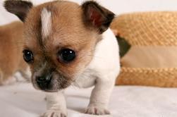 """~ Race de chien proposer dans le Gadget """"Pixule"""" ~"""