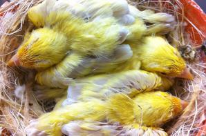 evolution d'une nichée de 3 satinés jaune mosaique et leurs parents