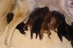 Chiots de Danka et Faro nés le 23 juin à réserver