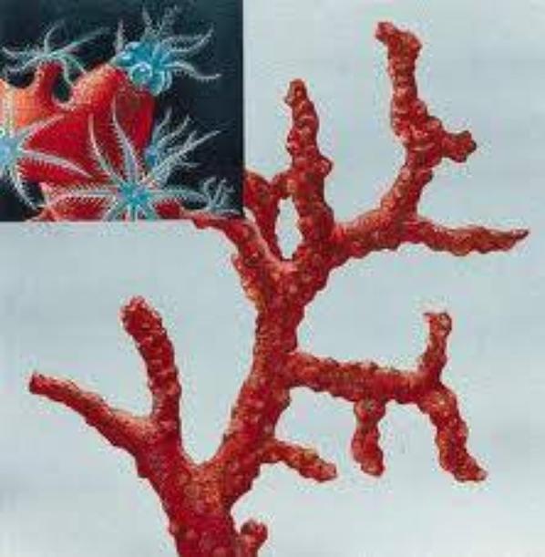 Comment identifier les coraux rouges naturelles demain vous voyer ma plante de corail