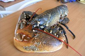 homard de 3.210kg