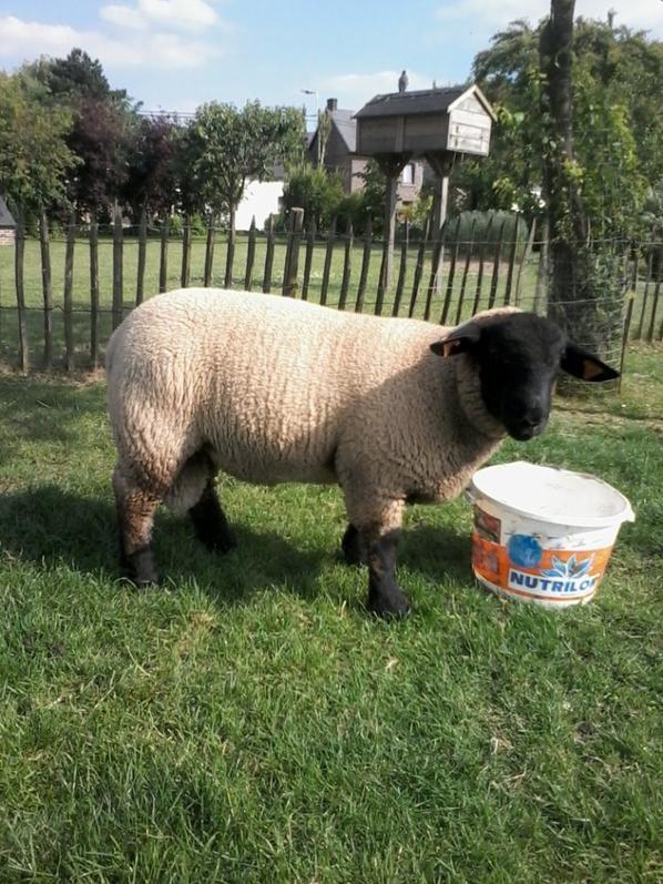 Mouton suffolk mâle à vendre